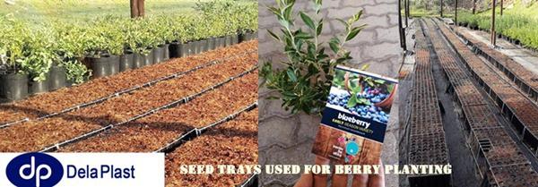 berry bush planting in dela plast seedling trays